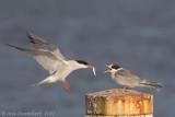 Visdief / Common Tern