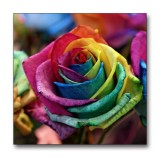 Rose with rainbow colours