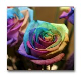 Roses with the colours of the rainbow.