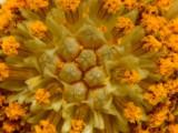 African Daisy VIS_DSC7298a1a cc.jpg