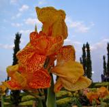 Canna lilies #1