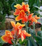 Canna lilies #2