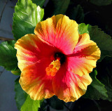 Red and yellow hibiscus at sunrise