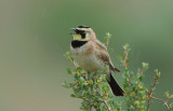 Horned Lark 0506-2j  L T Murray