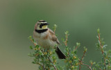 Horned Lark 0506-3j  L T Murray