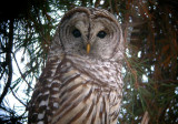 Barred Owl 0105-5j  Yard