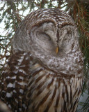 Barred Owl Sleeping 0105-3j  Yard