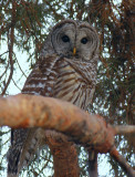 Barred Owl 0105-1j  Yard