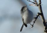 Black-tailed Gnatcatcher  0207-1j  Continental Rd., AZ