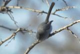 Black-tailed Gnatcatcher  0207-2j  Catalina Park, AZ