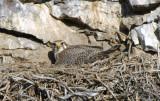 Prairie Falcon on Nest  0407-9j