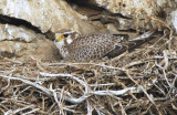 Prairie Falcon on Nest  0507-1j