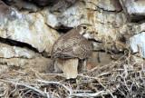 Prairie Falcon on Nest  0507-5j