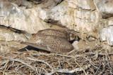 Prairie Falcon New Hatch  0507-17j