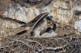 Prairie Falcon New Hatch  0507-21j