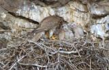 Prairie Falcon Feeding Chicks  0507-28j