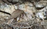 Prairie Falcon Feeding Chicks  0507-32j