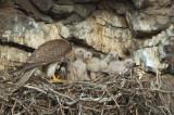 Prairie Falcon Feeding Chicks  0507-35j