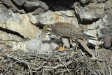 Prairie Falcon Feeding Chicks  0507-38j