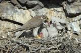 Prairie Falcon Feeding Chicks 0507-40j