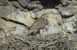 Prairie Falcon and Chicks  0507-46j