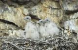 Prairie Falcon  Chicks  0607-10j