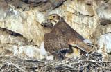 Prairie Falcon Shading Chicks 0607-13j