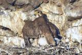 Prairie Falcon Shading Chicks 0607-14j