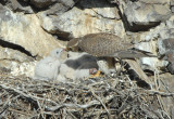 Prairie Falcon Feeding Chicks 0507-43j