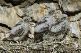 Prairie Falcon  Chicks  0607-19j