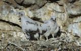 Prairie Falcon  Chicks  0607-40j
