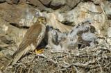 Prairie Falcon and  Chicks  0607-49j