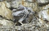 Prairie Falcon  Chicks  0607-50j