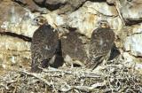 Prairie Falcon  Chicks  0607-32j