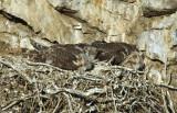 Prairie Falcon  Chicks  0607-33j