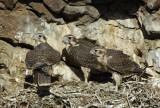 Prairie Falcon Fledglings 0607-65j