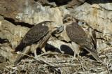 Prairie Falcon Fledglings 0607-64j