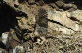 Prairie Falcon Fledgling 0607-58j