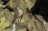 Prairie Falcon Fledgling 0607-68j