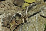 Prairie Falcon Fledgling 0607-69j