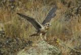 Prairie Falcon Fledgling 0607-76j