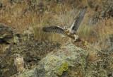 Prairie Falcon Fledglings 0607-75j