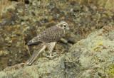 Prairie Falcon Fledgling 0607-84j