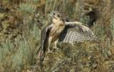 Prairie Falcon Fledgling 0607-88j
