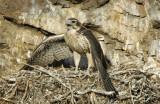 Prairie Falcon Fledgling 0607-92j