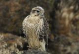 Prairie Falcon Fledgling 0607-100j