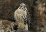 Prairie Falcon Fledgling 0607-98j