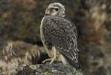 Prairie Falcon Fledgling 0607-103j