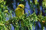 Townsend's Warbler 0907-1j  Chinook Pass