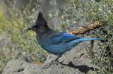 Steller's Jay 0907-6j  La Pine, OR
